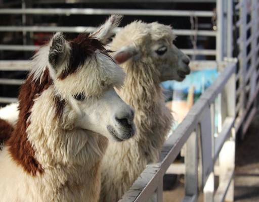 Shop Llama and Alpaca Products